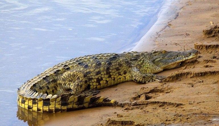 Африканський крокодил