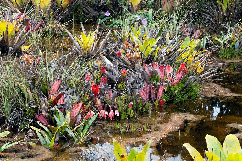 Рослини Південної Америки