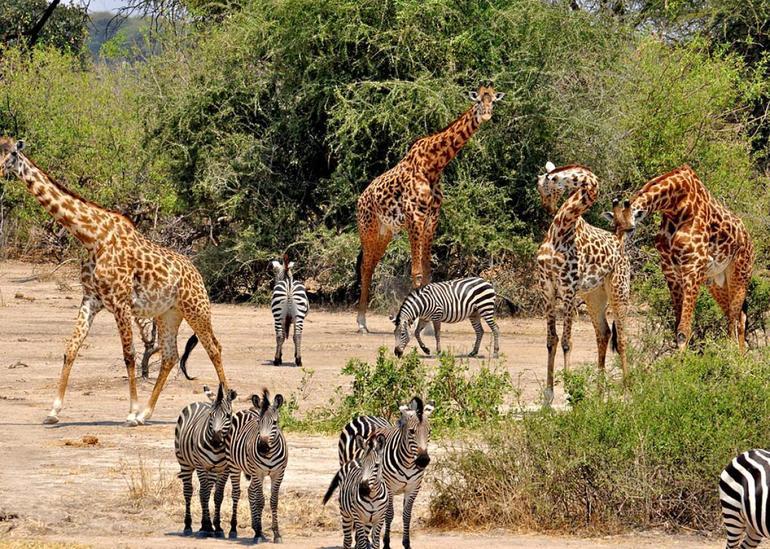 Жирафи і зебри