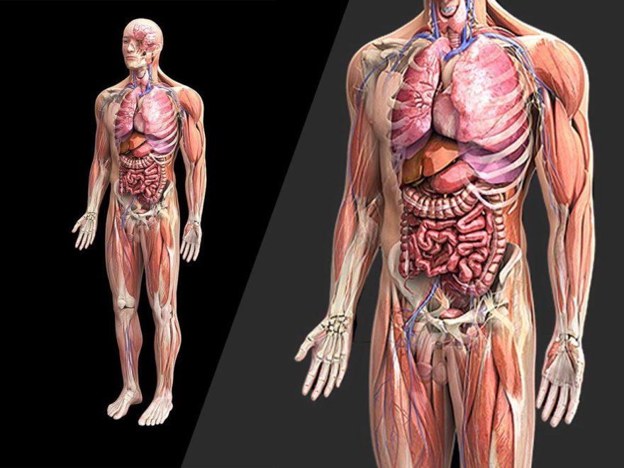 Анатомія людини - малюнок