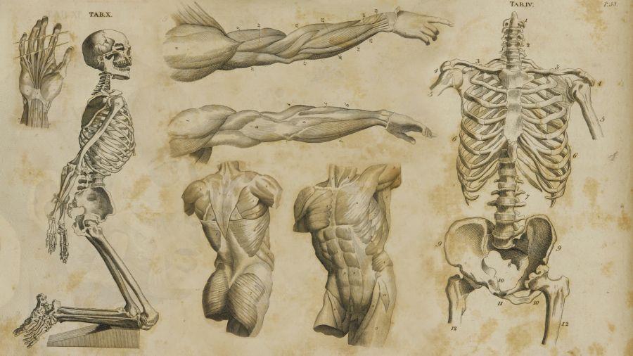 Анатомія6