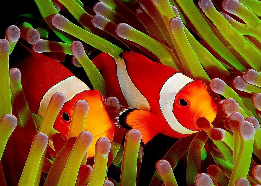 Анемонова риба (Amphiprion ocellaris) — протандрічний гермафродит