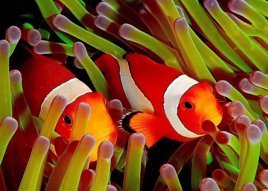 Анемонова риба (Amphiprion ocellaris) — протандрічний гермафродит