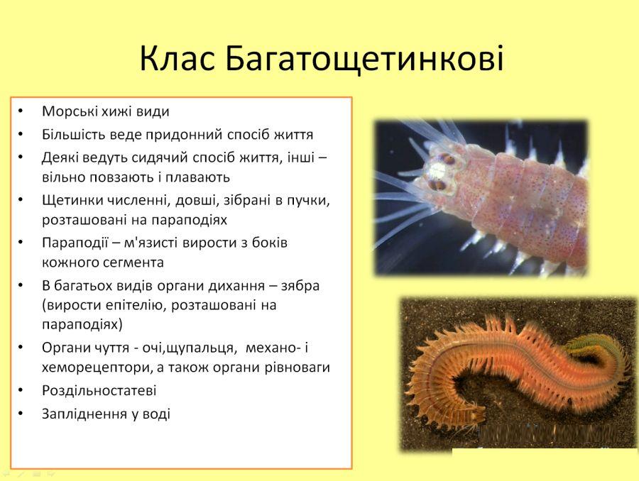 Багатощетинкові черви - опис