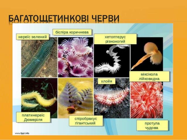Багатощетинкові черви - приклад