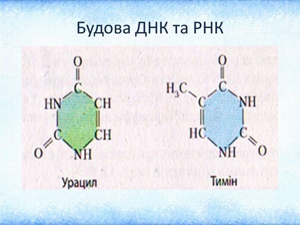 Будова РНК та ДНК