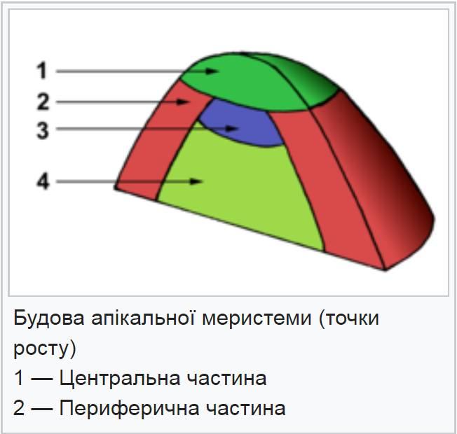 Будова апікальної меристеми (точки росту)