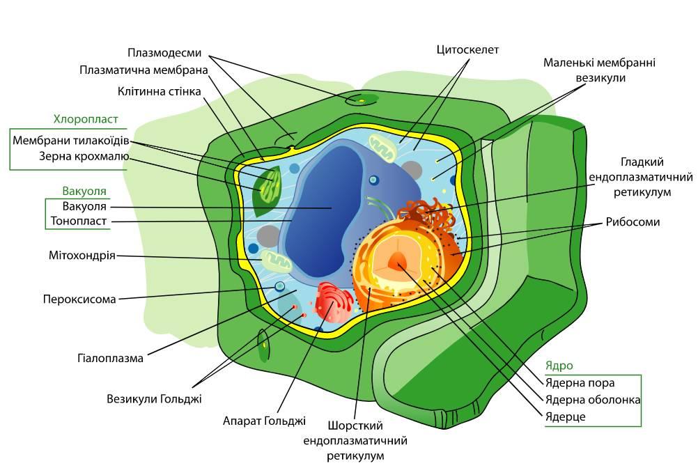 Будова еукаріотичної клітини