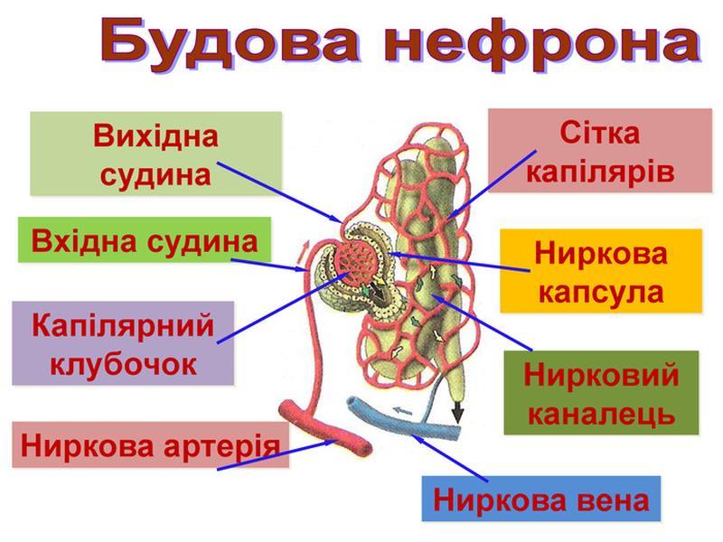 Будова нефрона