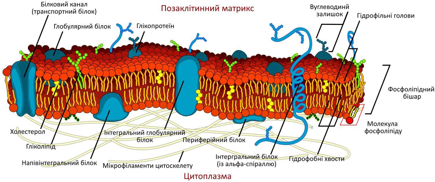 Будова плазматичної (клітинної) мембрани