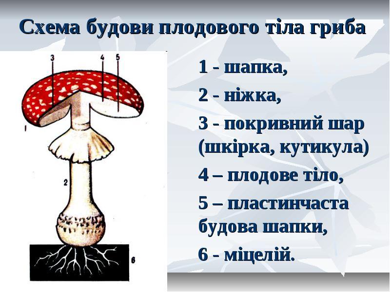 Будова плодового тіла гриба