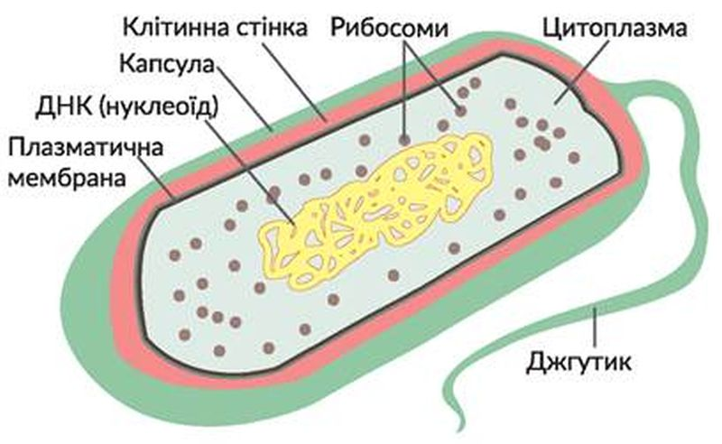 Будова прокаріотичної клітини