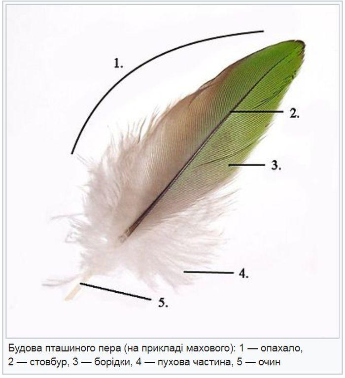 Будова пташиного пера