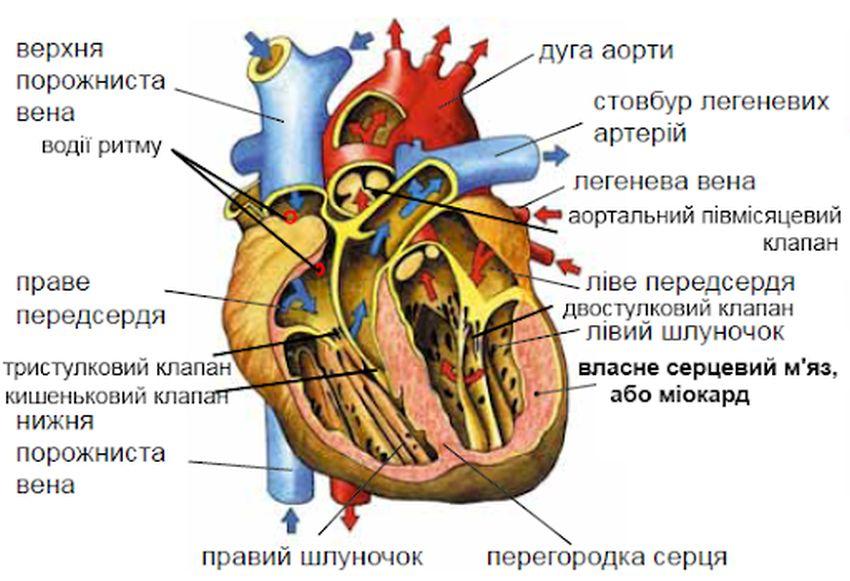 Будова серця ссавців на прикладі людини