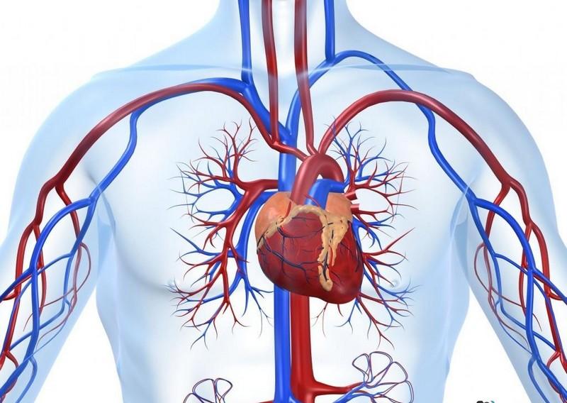Будова серця ссавців на прикладі людини2