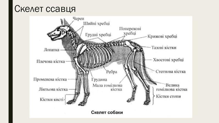 Будова скелета ссавців