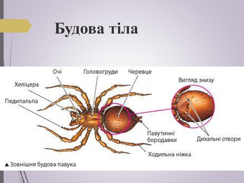 Будова тіла павука