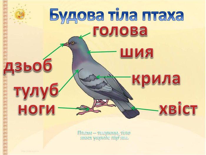 Будова тіла птахів