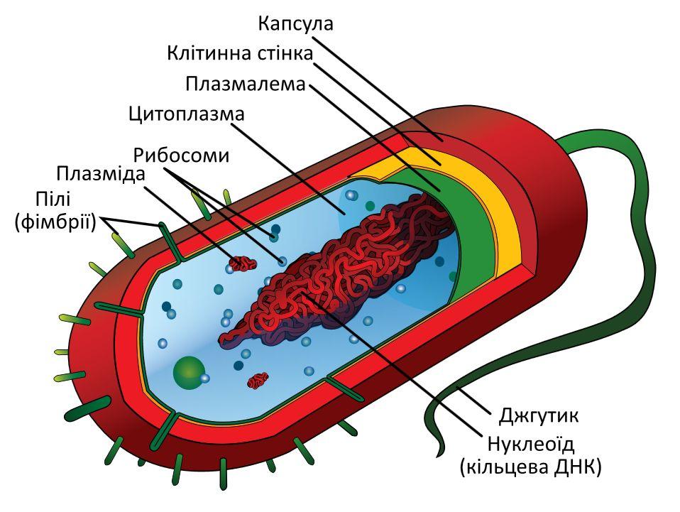 Діаграма типових грам-негативних бактерій