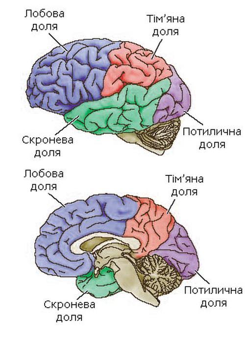 Долі великих півкуль головного мозку