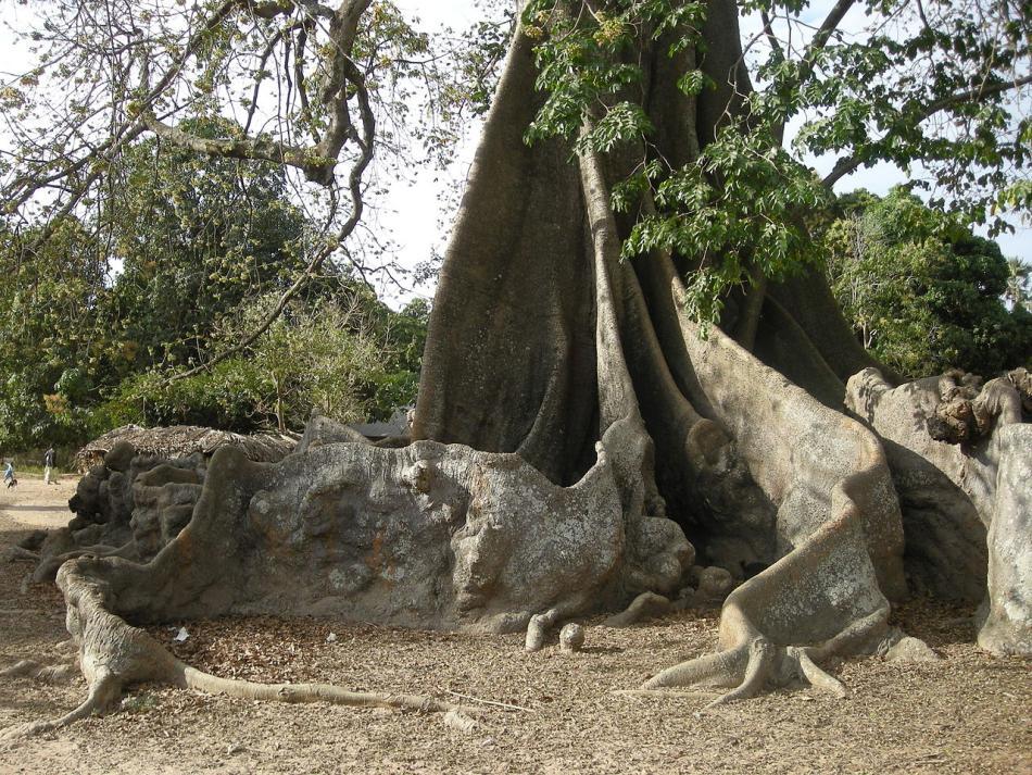 Дошкоподібні корені дерев тропічних дощових лісів