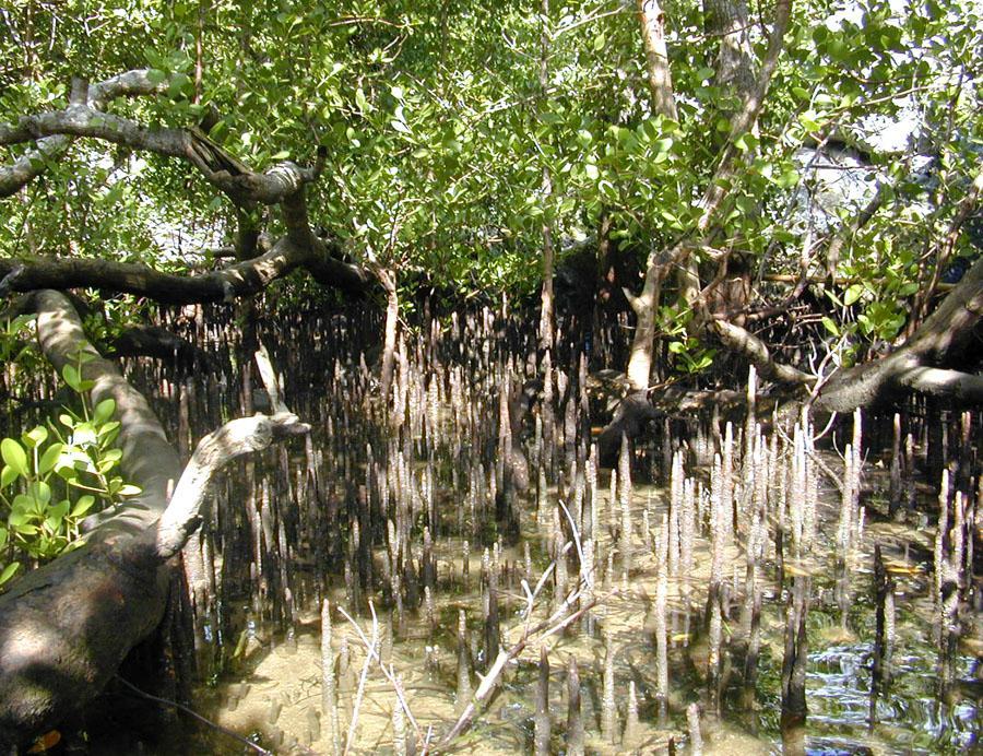 Дихальні корені мангрових