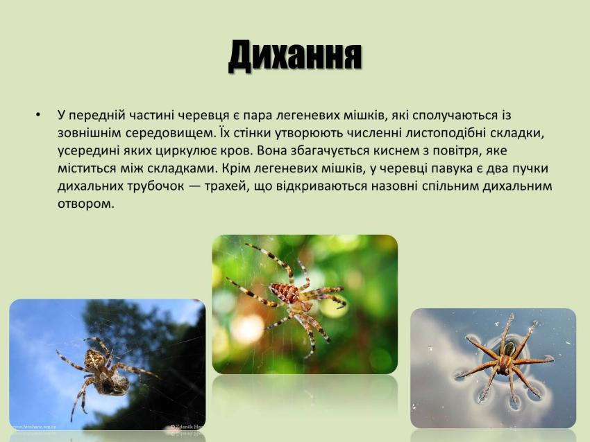 Дихання павука-хрестовика