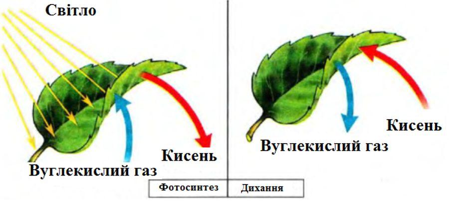 Дихання рослин - приклад