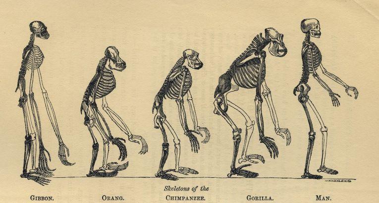 Еволюція скелета людини