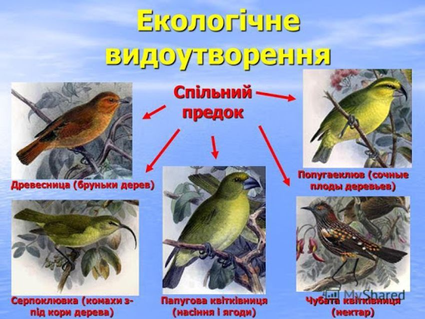 Екологічне видоутворення - приклад3