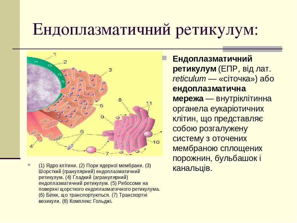 Ендоплазматичний ретикулум