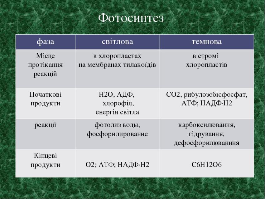 Фази фотосинтезу3