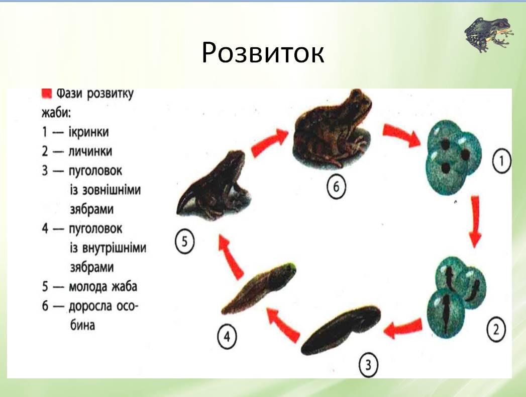 Фази розвитку жаби