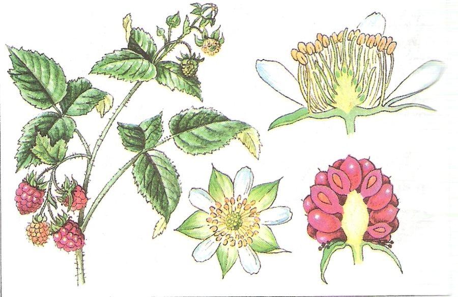 Форма квітки розовоцвітих