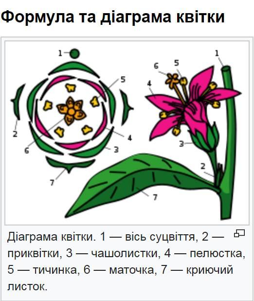 Формула та діаграма квітки