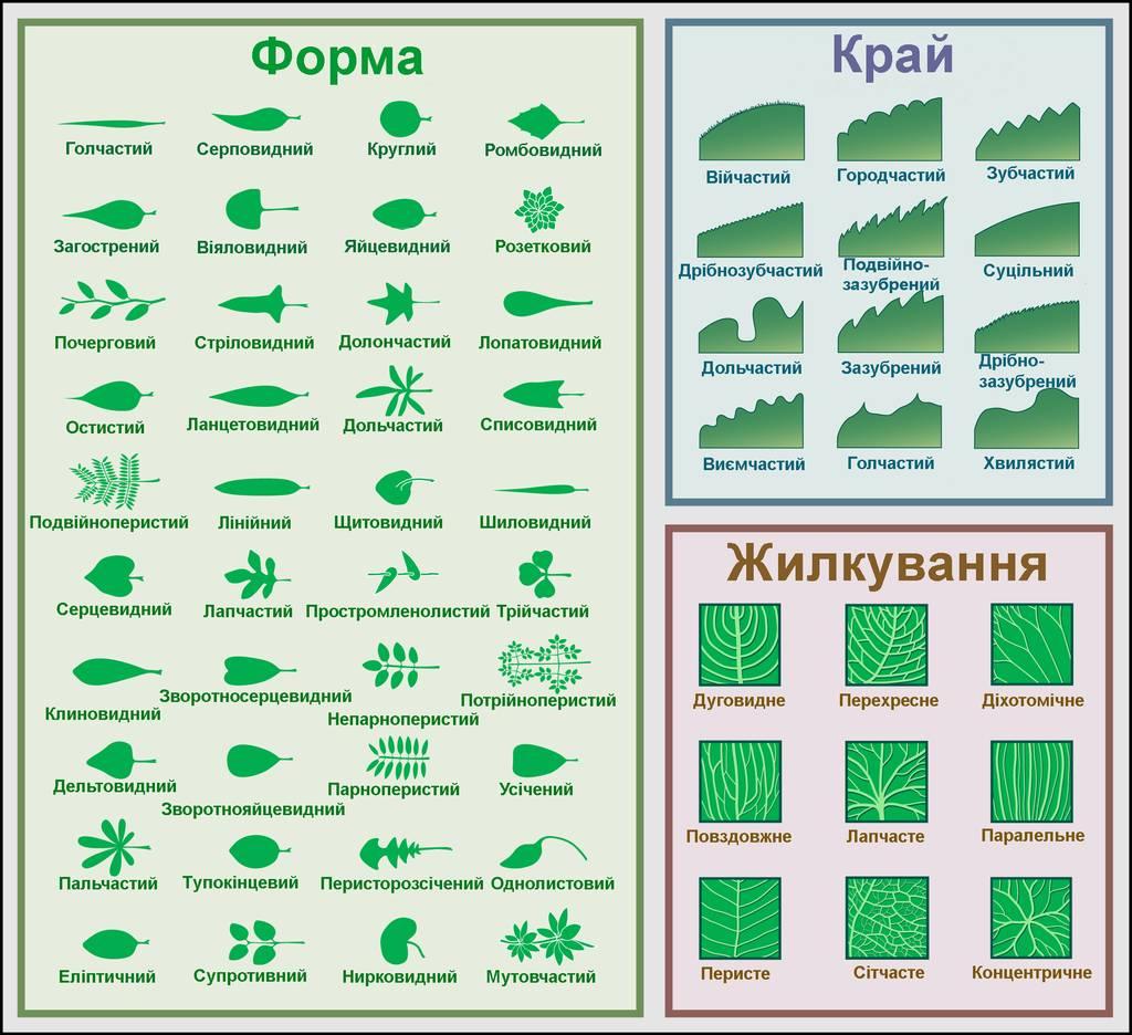 Форми листкової пластинки, країв та жилкування листків