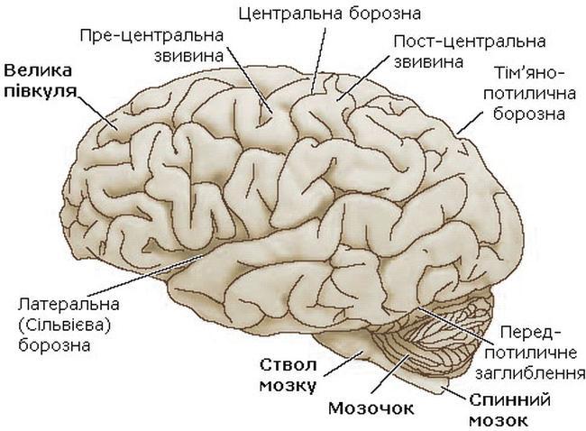 Головний мозок — латеральна поверхня