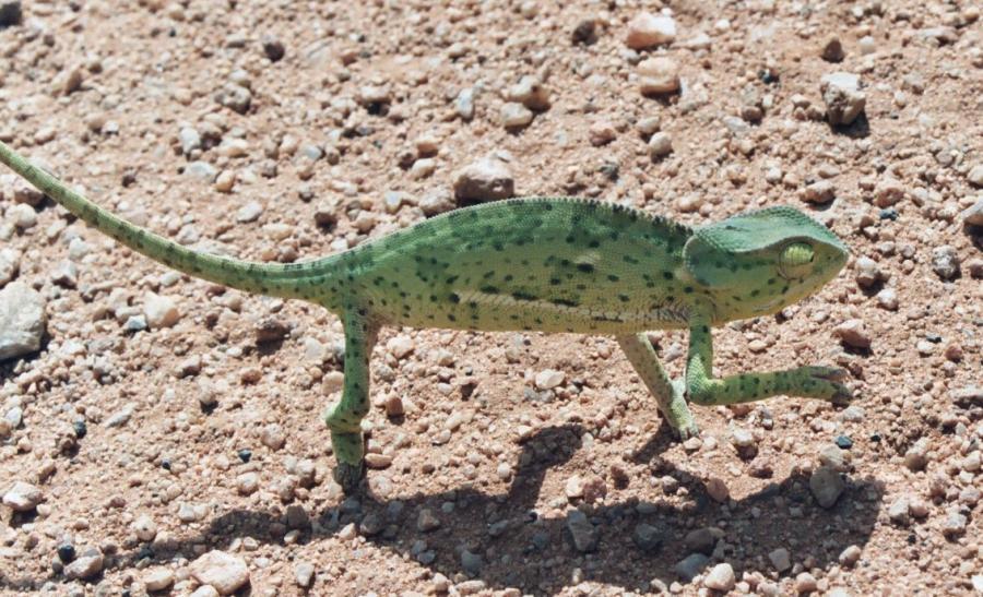 Хамелеон — плазун, що здатен змінювати колір своєї шкіри