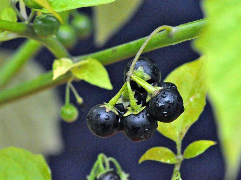 Характеристика пасльонових