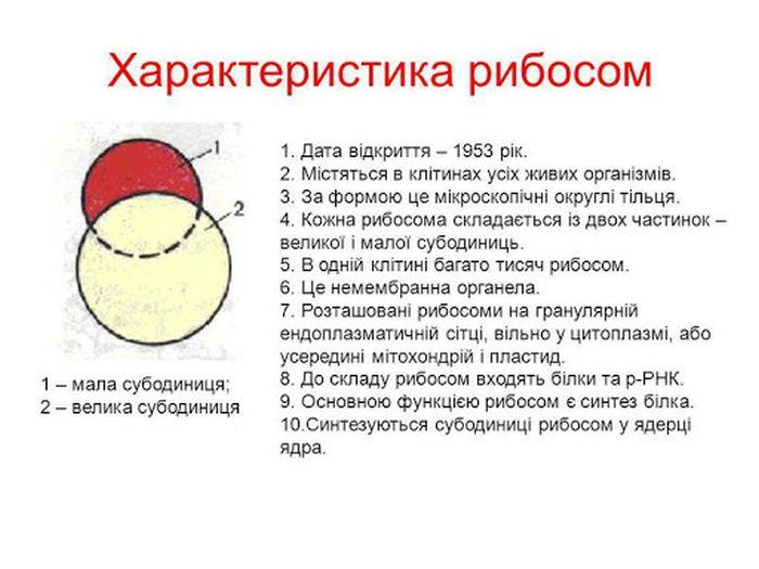 Характеристика рибосом