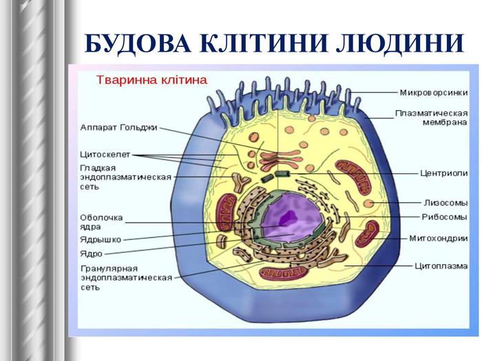 Клітина людини - будова