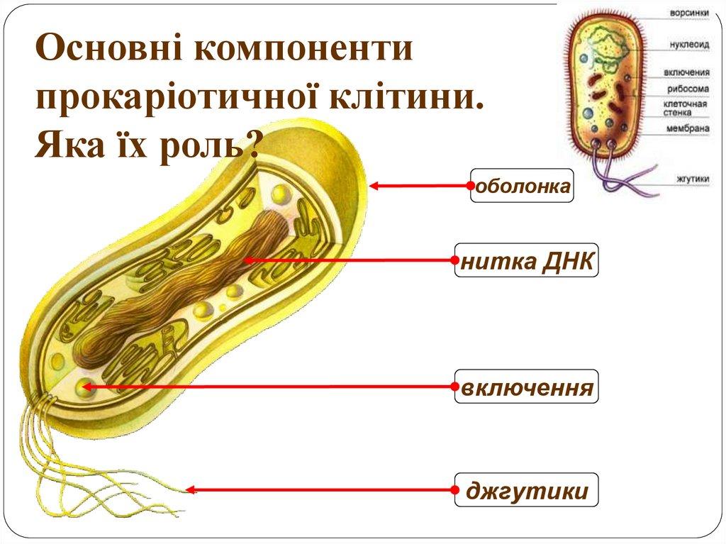 Компоненти прокаріотичної клітини