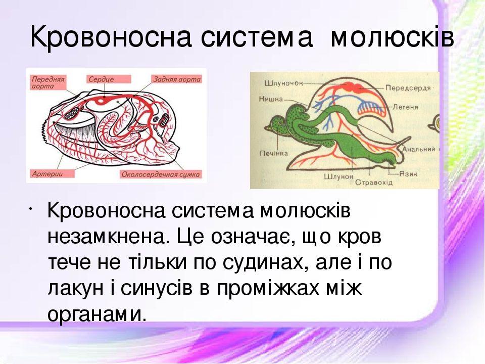 Кровоносна система молюсків