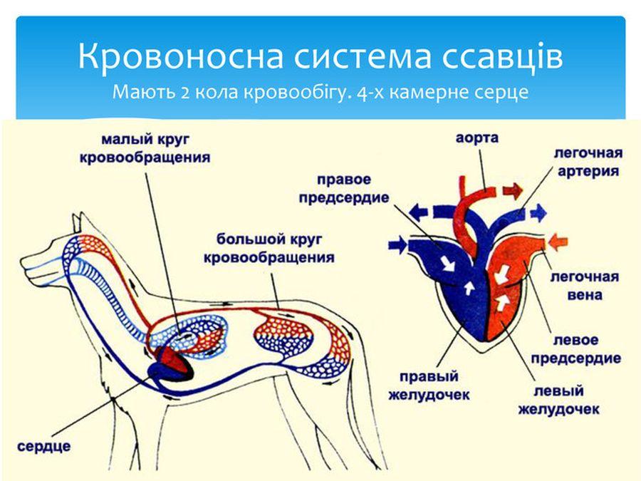 Кровоносна система ссавців