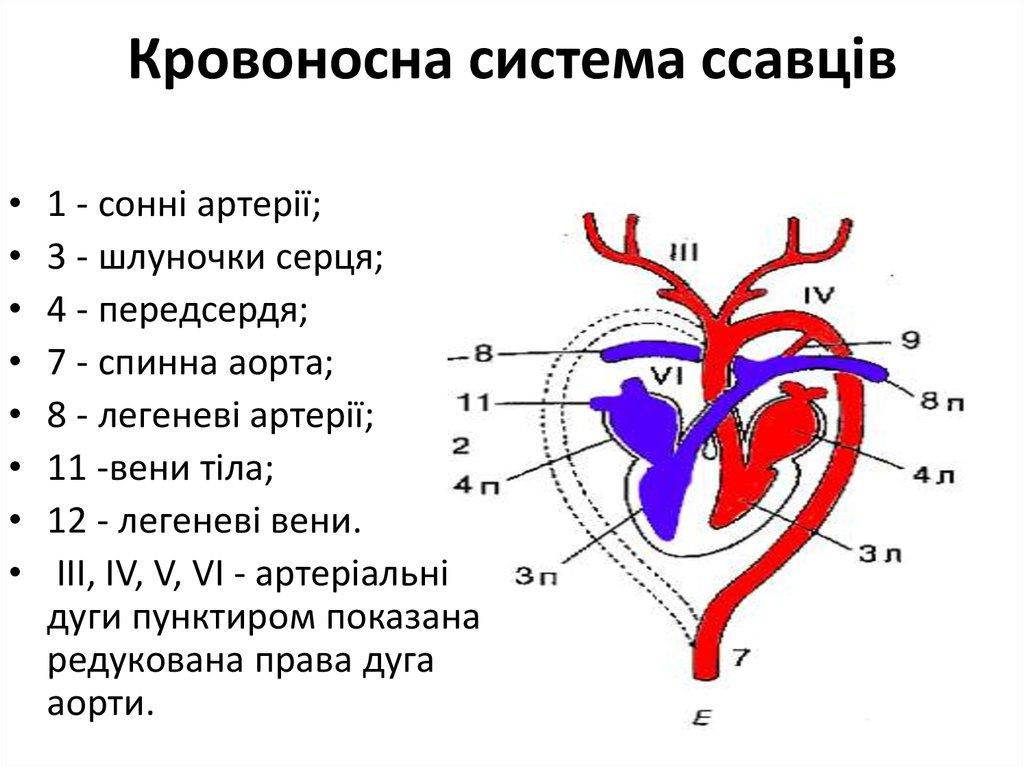 Кровоносна система ссавців2