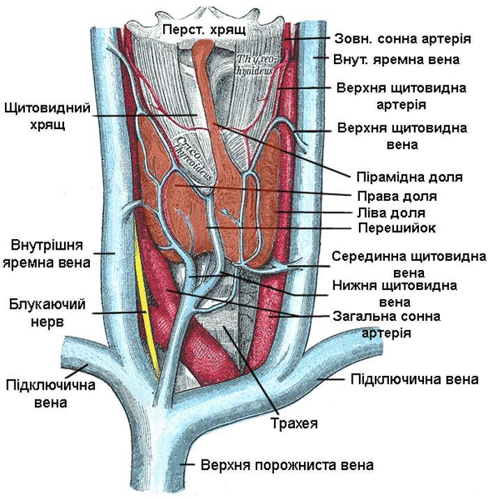 Кровопостачання та венозний дренаж щитоподібної залози