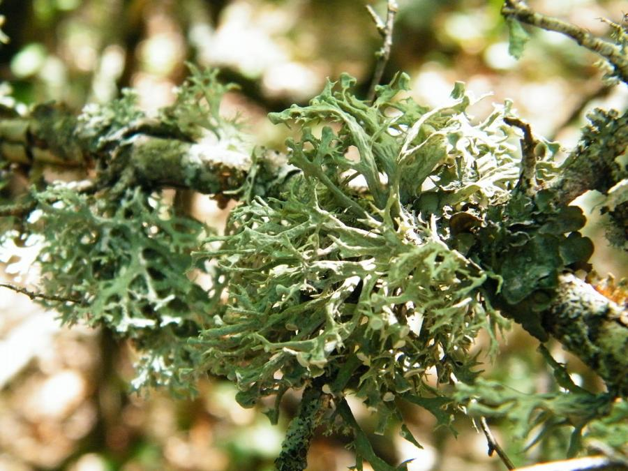 Кущистий лишайник «мох дубовий» (Evernia prunastri)