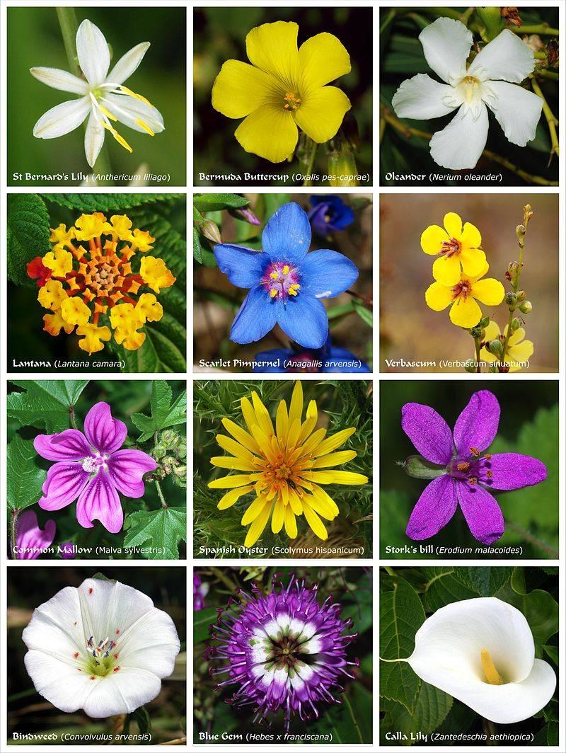 Квіти різних таксонів рослин