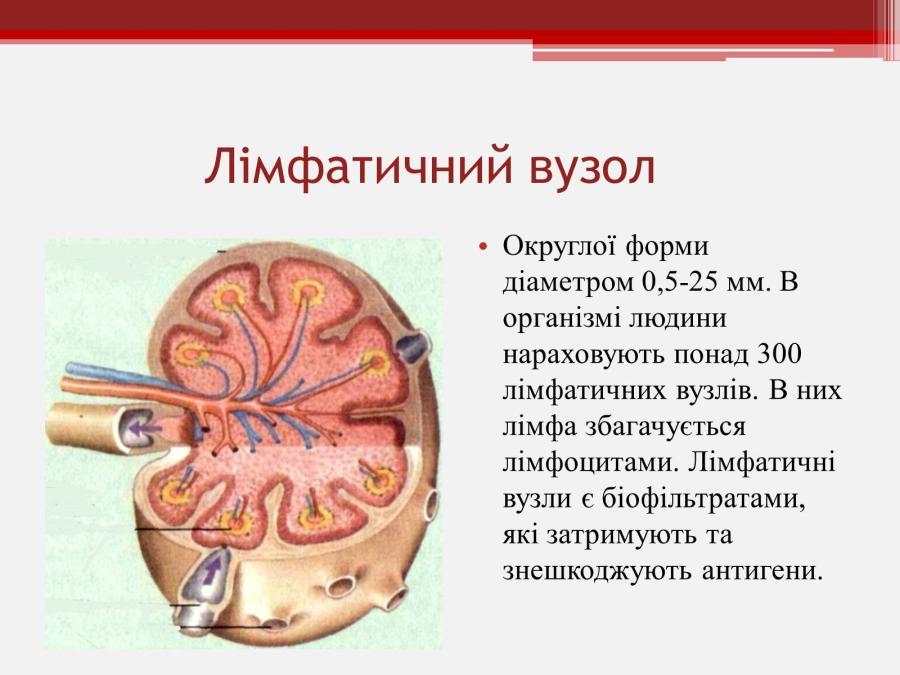 Лімфатичний вузол