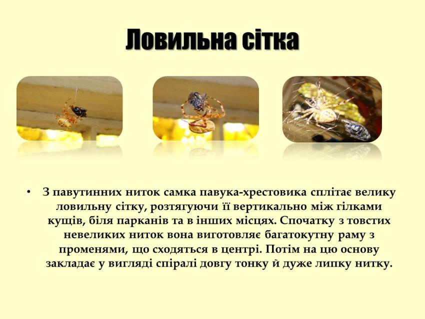 Ловильна сітка павука-хрестовика